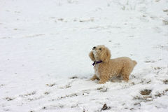 Playing in the snow. Poodle playing in the snow royalty free stock photos