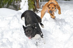 Playing in the snow. These two dogs, one Rhodesian Ridge Back and a smaller mixed breed had a wonderful day playing chase in the snow Stock Images