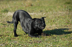 Playing stafforsdshire bull terrier Stock Photography