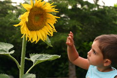 Playing with a sunflower. Child watching a big sunflower Royalty Free Stock Images
