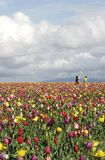 Playing in Tulip Fields. Lots of kids playing in bright tulip fields stock photography