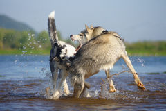 Playing in the water. Two Siberian Huskies Stock Images