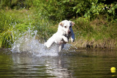 Playing White Labrador Retriever Female stock photos