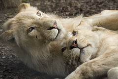 Playing white lions Royalty Free Stock Photos