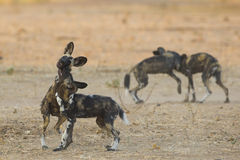 Playing Wild Dog pups (Lycaon pictus). Two pairs of playing Wild Dog pups (Lycaon pictus Royalty Free Stock Photos