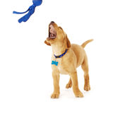 Playing Yellow Labrador Puppy Stock Photography