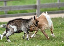 Playing young goats. Two young goats fighting in the ranch yard Stock Image