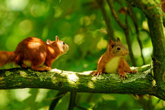 Playing young squirrels. Two young squirrels playing in a tree stock photo