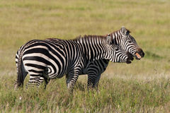 Playing zebras Stock Images