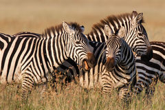 Playing zebras Stock Image