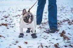 Playingin del perro del dogo francés el invierno con el hombre Fotografía de archivo libre de regalías