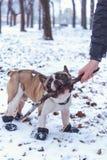 Playingin del perro del dogo francés el invierno con el hombre Imágenes de archivo libres de regalías