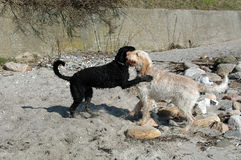 Playmates. Two dogs play at a beach, one almost black the other almost white. They have big fun Royalty Free Stock Photo
