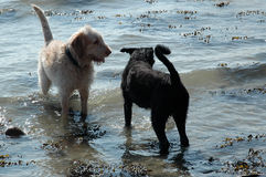 Playmates. Two dogs play in the water, one almost black the other almost white. They have big fun Royalty Free Stock Image