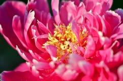 playnig света цветка предпосылки Красивый зацветая пион Стоковая Фотография