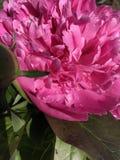 桃红色,与叶子的紫罗兰色花牡丹 免版税库存图片
