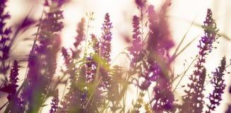 playnig för bakgrundsblommalampa blåa fältblommor gräs ängskysommar under Arkivfoton