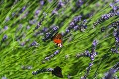 playnig för bakgrundsblommalampa Fjärils- och lavendelblomma Royaltyfri Foto