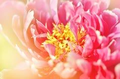 playnig för bakgrundsblommalampa Härlig blommande pion Royaltyfri Bild