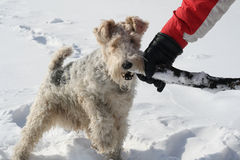 Fox Terrier plays. Plays the owner Fox Terrier in the snow Stock Photography