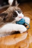 Playtime. A kitten plays with a chew toy Stock Image