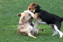 Playtime. Two dogs playing at the dog park Stock Image