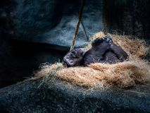 Playtime in ape land stock images