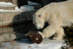 Playtime dell'orso polare Fotografie Stock Libere da Diritti