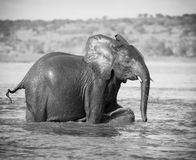 Playtime. Young Elephant playing in water Stock Photography
