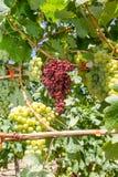 Pleśnień darmozjady infekujący winogrona i winogrady. Obraz Royalty Free