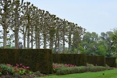 Pleached Lime Walk, Yew and Tulips, Mottisfont Abbey, Hampshire, England. The Pleached Lime Walk with yew hedges and tulips at Mottisfont Abbey was created by royalty free stock photography