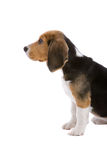 Pleading look. Cute young beagle puppy looking up at the boss with a pleading look Stock Photo