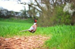Pleasant Pheasant Stock Photography