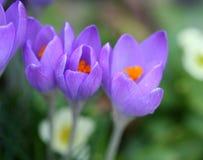 Pleasant spring crocuses. Closeup of crocus petals with bright colors, shallow depth of focus stock photos