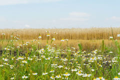 Pleasantly aromatic hardy weeds annuals Matricaria, Chamomile , mayweed, growing along roadsides of rye field. Flowering. Pleasantly aromatic hardy weeds annuals royalty free stock image