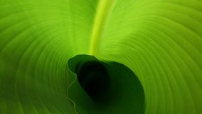 Banana tree leaf royalty free stock photography