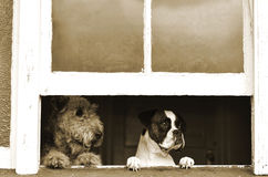 Please come home soon - two sad dogs. A unique portrait of two different breed dogs sitting at the window with very sad expressions of their faces, looking out Royalty Free Stock Photography