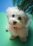 But please !. Cute dog begging under the christmas tree Royalty Free Stock Photography