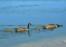 Please delete as i cannot find out how to do on my tablet. ThankyouTfamily of geese Royalty Free Stock Photos