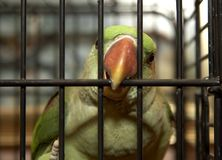 Please Let Me Out. Parrot in a cage Royalty Free Stock Photos