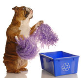 Please recycle. Dog standing up with pompoms encouraging recycling - please recycle Royalty Free Stock Images