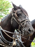 Please Untie Me. Work horse in harness and pulling a load stock images