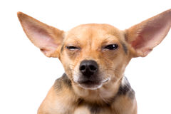 Pleased face. Closeup portrait of funny dog screwing up himself eyes Stock Photo