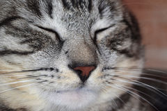 Pleased gray striped cat squeezed his eyes shut Royalty Free Stock Image