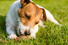 Pleased and happy dog eating meat on bone lying on green grass Royalty Free Stock Photo