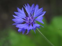 Pleasing to the eye blue cornflower. Blue Cornflower centaurea. Blue Cornflower centaurea. With his help, the centaur Chiron recovered from the poison of the royalty free stock photography