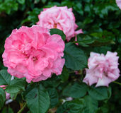 Pleasure Rose. The Pleasure Rose blooms at the Woodland Park Rose Garden in Seattle, Washington Stock Photos