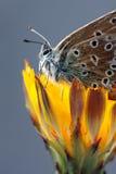 plebeius бабочки aricia agestis Стоковая Фотография RF