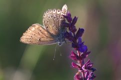 Plebeius ripartii - butterfly royalty free stock photography