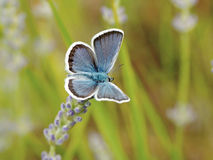 Plebejus Argus photos stock